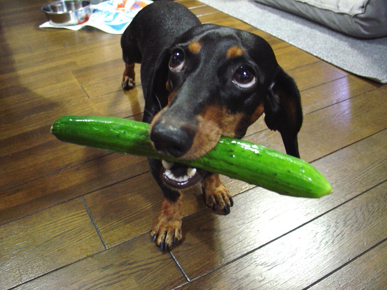 Dogs like cucumbers  26 cucumbers like dogs